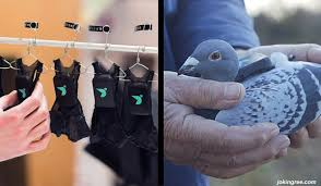 Pigeon air patrol 2